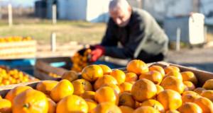 15 იანვრის მონაცემებით, საქართველოდან 25,445 ტონა სტანდარტული მანდარინია ექსპორტირებული