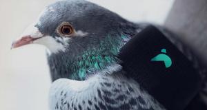 მტრედი პატრული – ჰაერის დაბინძურებაზე მონაცემებს ლონდონში ფრინველები აგროვებენ