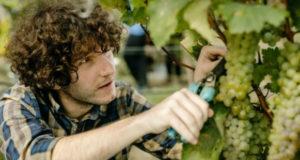 დღევანდელი მონაცემებით, კახეთის რეგიონში გადამუშავებულია 21,1 ათასამდე ტონა ყურძენი