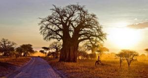 ბიძინა ივანიშვილმა ოზურგეთის ერთ-ერთი მკვიდრისგან ბაობაბის ხე 45 000 დოლარად იყიდა
