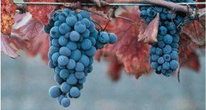 საფერავის ჯიშის ყურძენზე წელს სუბსიდირება არ განხორციელდება