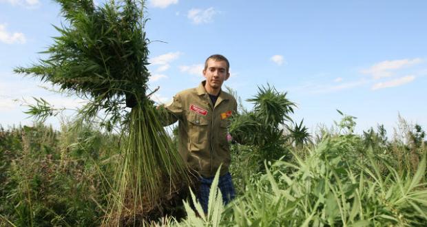 რუსეთში სამედიცინო მიზნით კანაფისა და ნარკოტიკების შემცველი სხვა მცენარეების მოყვანა ლეგალური გახდა