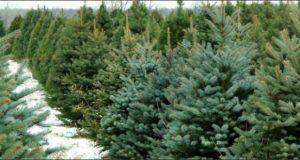 """""""ევროპაში საშობაოდ გაყიდული ნაძვის ხეების 90% ქართული წარმოშობისაა"""" - შესაძლებელია თუ არა დანიური მოდელის საქართველოში გადმოტანა"""