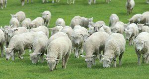 იანვარ-თებერვალში საქართველომ უცხოეთიდან ცოცხალი ცხვრის შეძენაზე 2-ჯერ უფრო მეტი დახარჯა