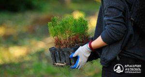 ბორჯომის ტყის აღდგენის პროექტი გრძელდება