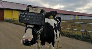 მედიის ინფორმაციით, რუსეთში ძროხებს თავზე VR-მოწყობილობები დაამაგრეს და კლასიკურ მუსიკას ასმენინებენ, რათა მეწველობა გაიზარდოს